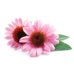 Perianaturals emergency immune support contains echinacea