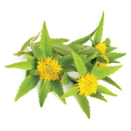 braintain riseup contains rhodiola rosea salirosides rosavins